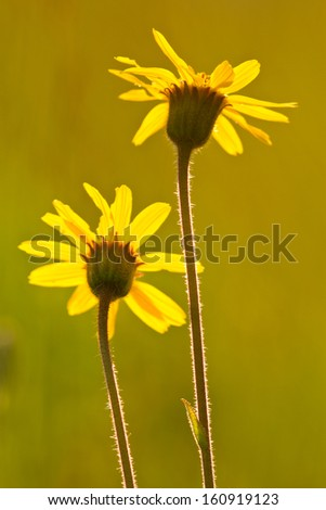 Arnica (yellow flowers) - stock photo