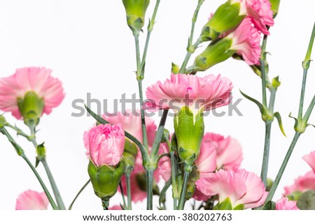 Arrangement of beautiful pink divine flowers blooming in spring  Scented Dianthus caryophyllus blossoms used for perfumery, medicine, food and tea. Image for garden business blog flower interior books - stock photo
