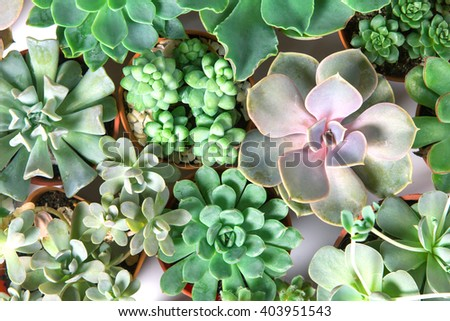 arrangement of the succulents or cactus succulents , overhead or top view - stock photo