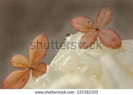 arrangement of two dry hydrangea blossoms and water drop on a white rose - stock photo