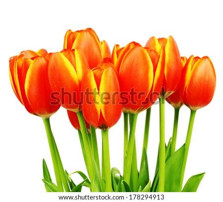 Arrangement with fresh tulips - stock photo