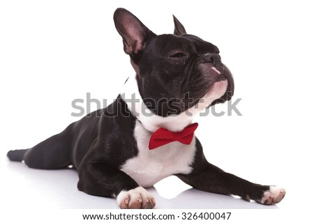 arrogant little french bulldog puppy sniffing a scent , wearing a red bowtie and lying down on white background - stock photo