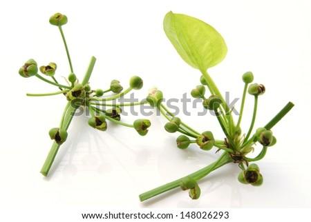 Arrow Head Ame son,  Sagittaria lancifolia L ,  ALISMATACEAE - stock photo