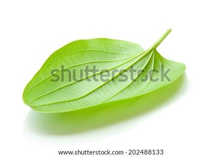 Arrow Head Ameson leaf, Sagittaria lancifolia L , ALISMATACEAE - stock photo