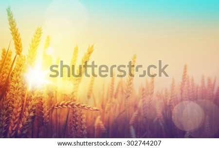art golden wheat field and sunny day - stock photo