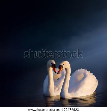 art love couple of swans - stock photo
