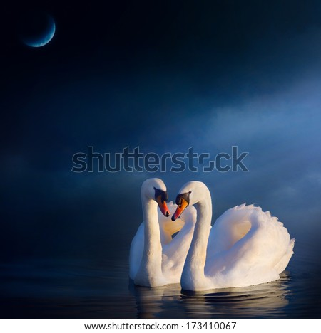 Art love couple Swan floating on the water at sunrise of the day - stock photo