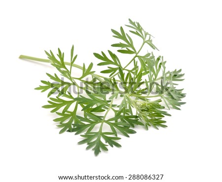 Artemisia absinthium isolated on white background. - stock photo