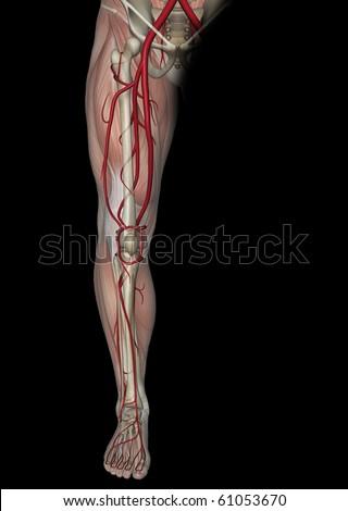 Arteries of the Leg - stock photo