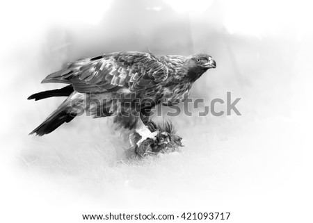 Artistic, black and white photo Golden Eagle, Aquila chrysaetos, feeding on a prey  in Pyrenees  isolated on white background with a touch of environment. Wildlife, ground level photo, Spain, Europe.  - stock photo