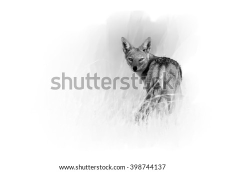 Artistic, black and white  photo of Black-backed Jackal, Canis mesomelas in motion in the grass of savanna looking directly at camera, isolated on white background with a touch of environment. Hwange. - stock photo