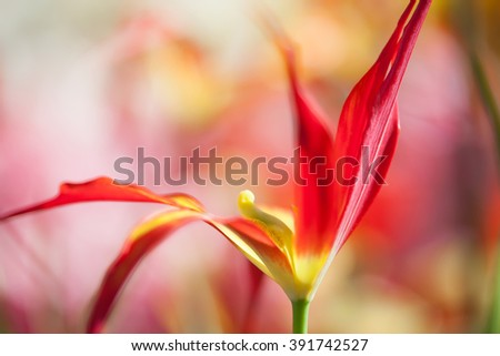 Artistic colorful tulip flower background. Macro view bright red yellow petals. Shallow depth of field. - stock photo