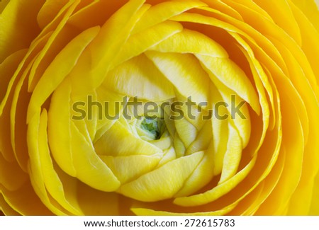 artistic macro of yellow buttercup - stock photo