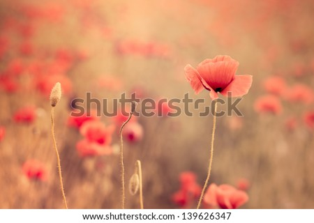 Artistic poppy closeup in the sunshine - stock photo