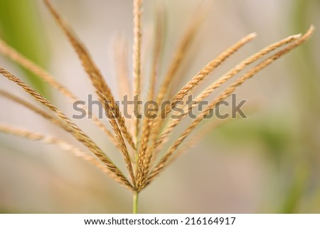 Artistic Rhodes Grass in Detail with bokeh background - stock photo