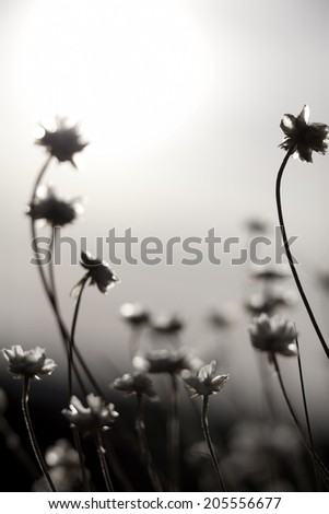 Artistic silhouette of flowers against the sun - shallow DOF - stock photo