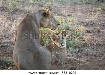 As we explored Samburu National Park, the male lion watched intensely as his cub crouched but never gathered the courage to charge a young prey. - stock photo