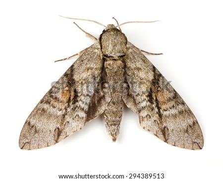 Ash Sphinx Moth (Manduca jasminearum) on a white background - stock photo