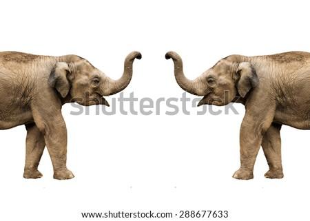 Asia baby elephant on isolated white background. - stock photo