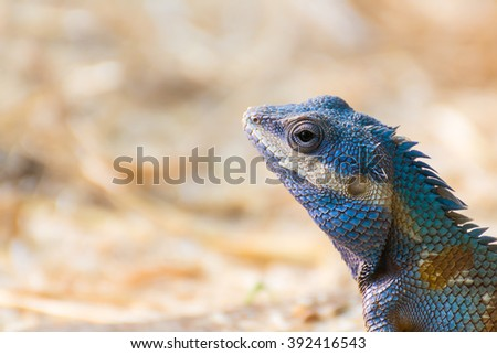 Asia Chameleon on barley field blurred background.Close up - stock photo