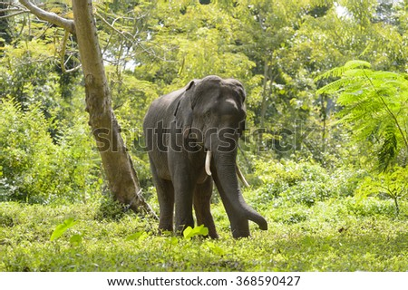asia elephant in tropical forest, thailand - stock photo