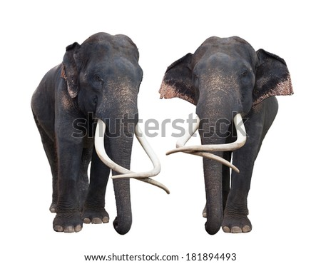 Asia elephant in white isolated backgroung included clipping part for easy to use - stock photo
