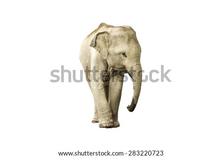 Asia elephant on isolated white background. - stock photo