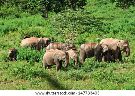Asia wild elephent at Kui - buri Nation Park, Prachuabkirikhan Province, Thailand.  - stock photo