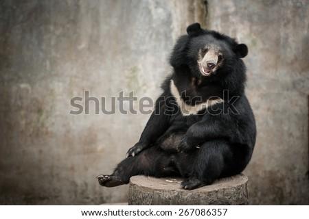 Asian black bear, asiatic black bear (Selenarctos Thibetanus) sit on stump in zoo - stock photo