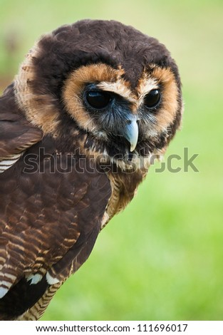 Asian Brown Wood Owl (Strix leptogrammica) - stock photo