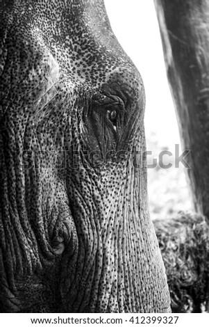 Asian elephant close up black and white portrait - stock photo