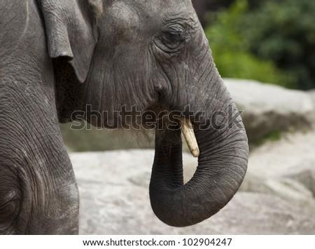 Asian elephant eating - stock photo
