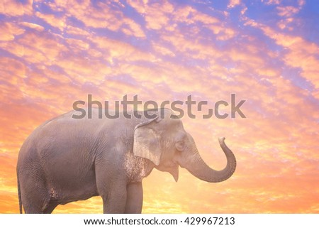 Asian Elephant in beautiful nature sunrise sky and cloudscape background environment. - stock photo