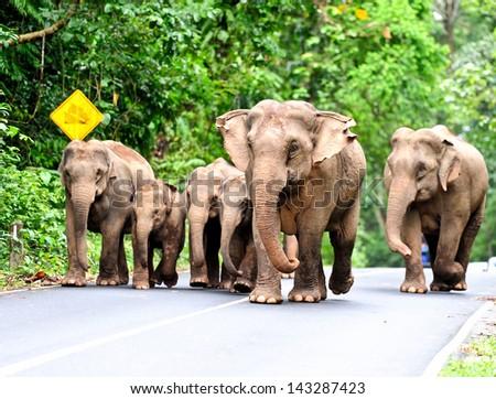 Asian elephant in Khao Yai National Park,Thailand - stock photo