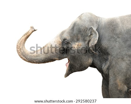 Asian Elephant isolated on white background.  - stock photo