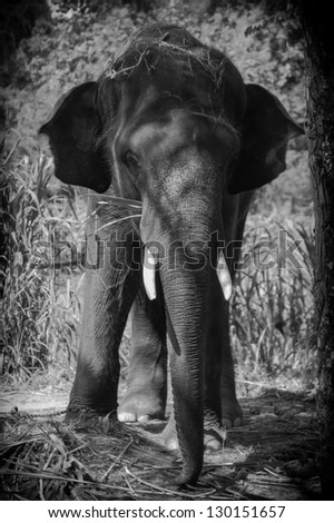 Asian elephants. - stock photo
