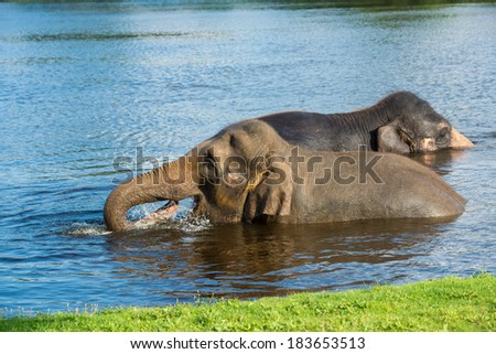 Asian elephants swimming in a lake - stock photo