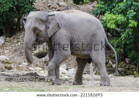 Asian elephants,thailand.Elephant urine - stock photo