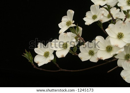 Asian inspired dogwood on black - stock photo