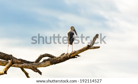 Asian Openbill (Anastomus oscitans) White bird standing alone on trees that died in the drought, 16:9 wide screen - stock photo