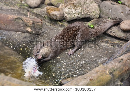 Asian Small-clawed Otter (Aonyx cinerea) - stock photo