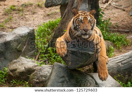 Asian tiger lying on the timber - stock photo