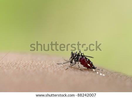 Asian tiger mosquito sucking human blood - stock photo
