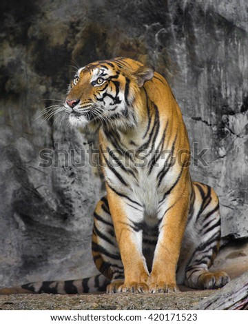 Asian  tiger standing with rock wall in background  - stock photo