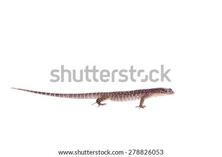 Asian Water Monitor Lizard, Varanus salvator, on white - stock photo