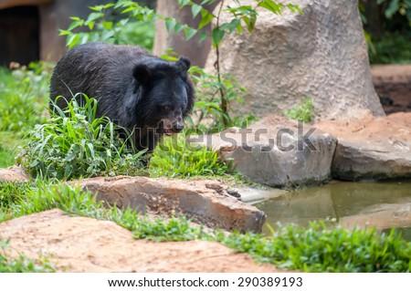 asiatic black bear in zoo - stock photo