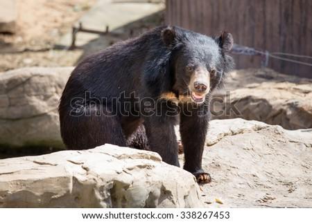 Asiatic black bear, Khonkaenzoo - stock photo