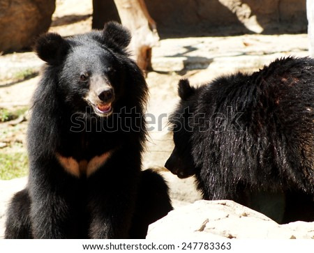 Asiatic black bear, Tibetan black bear, Ursus thibetanus, large tropical asian bear with black fur and white V shape fur on the burst close up shot from a zoo in THAILAND on a sunny day. - stock photo