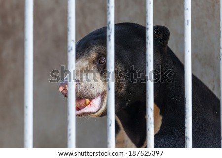 Asiatic black bear(Ursus thibetanus) are in cage for abstract used  - stock photo