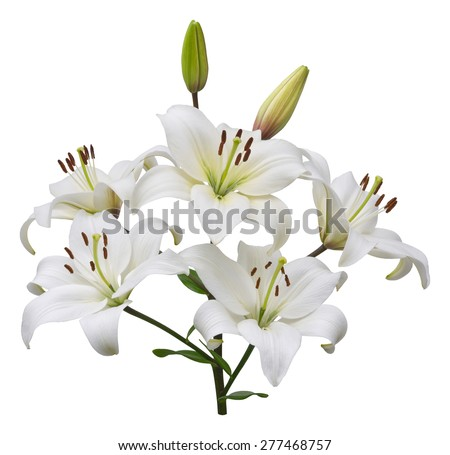 Asiatic lily plant with five flowers and two buds, stem and leaves, isolated on white. - stock photo